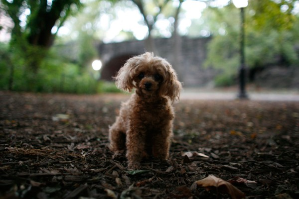 Twilight in Central Park, with toy poodle